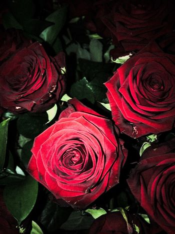 Flower Rose - Flower Petal Nature Red Beauty In Nature Fragility