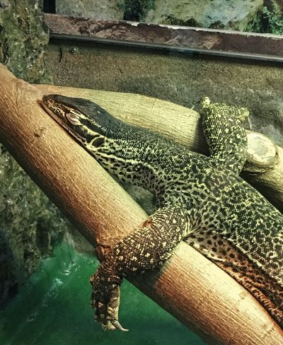 Lizard on Legs Animal Animal Body Part Animal Head  Animal Scale Animal Themes Animal Wildlife Animals In Captivity Animals In The Wild Close-up Crocodile Day High Angle View Lizard Nature No People One Animal Outdoors Reptile Vertebrate Zoo