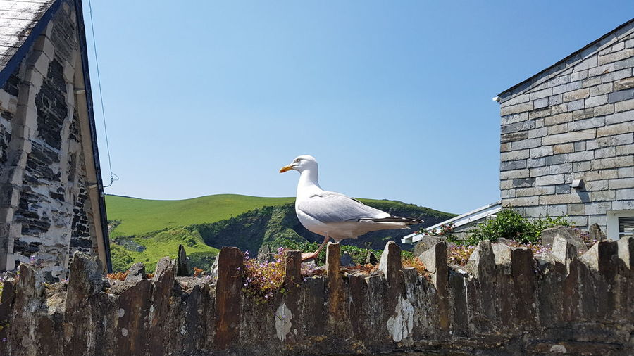 Seagull Sea Bird Sea Birds Collection Seagull Beauty In Nature Bird Photography Birds_collection Sunny Day By The Seaside Port Isaac Cornwall Coast Clear Sky Sky Animal Themes Perching