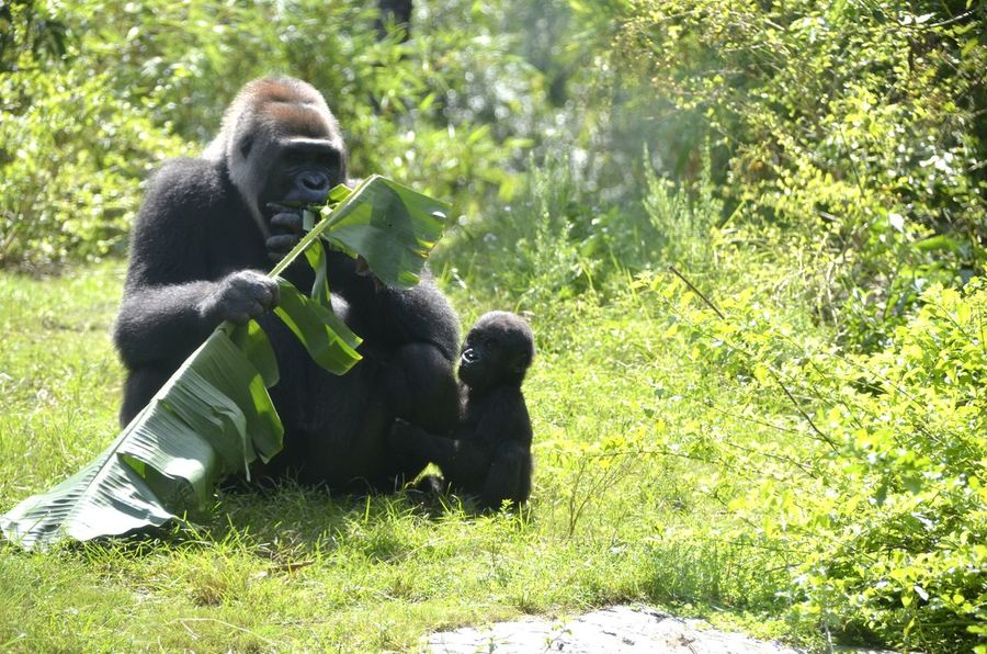 Gorillas Gorilla Monkeys Apes Streamzoofamily StreamzooVille Animals RePicture Motherhood Repicture Beauty The Best From Holiday POV DisneyWorld Mammal Gorilla In Zoo