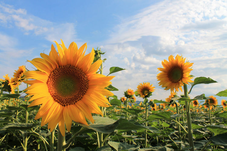 Ascoli Piceno Beauty In Nature Blooming Close-up Clouds Day Field Flower Flower Head Fragility Freshness Growth Italy Marche Nature No People Outdoors Petal Plant Pollen Sky Summer Sunflower Sunflowers Yellow Paint The Town Yellow