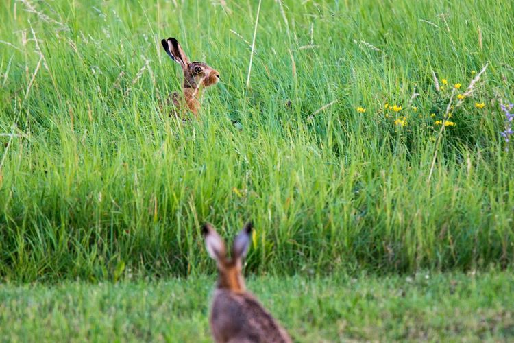Two Rabbits in Grass Nature Photography Rabbits Rabbits In Grass Ears Rabbit Summer