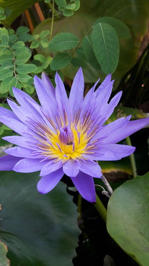 Flower Beauty In Nature Nature Purple Petal Water Freshness Blossom Plant Fragility Flower Head Leaf Water Lily No People Floating On Water Water Plant Growth Day Lake Outdoors