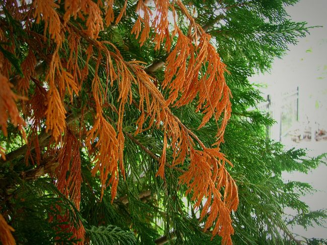 cedar Nature Garden Garden Photography Cedar Cedar Tree Tree Autumn Leaf Sky Green Color Close-up Leaves Branch