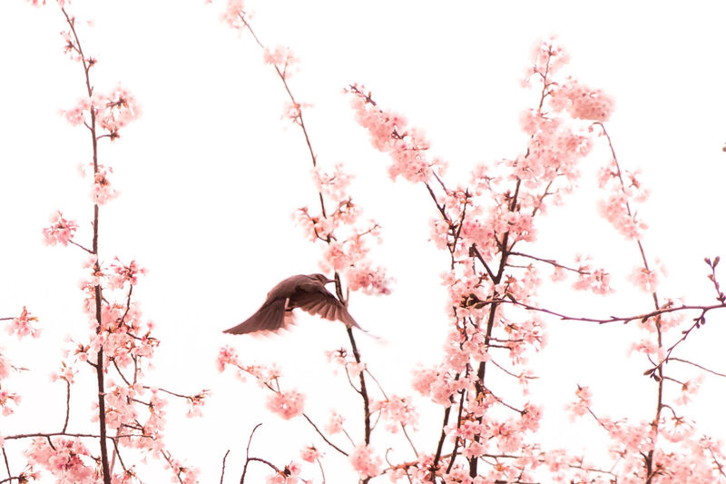 A bird flies between branches of Sakura (cherry blossom) in Ueno Park, Tokyo, Japan. Beauty In Nature Beauty In Nature Bird Blossom Cherry Day Flower Fragility Nature Outdoors Park Plum Plum Blossom S Sakura Sky Spring Sunny Sunny Day Tokyo Ueno