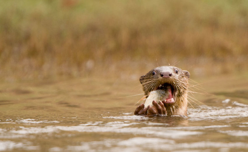 Otter eating fish in river