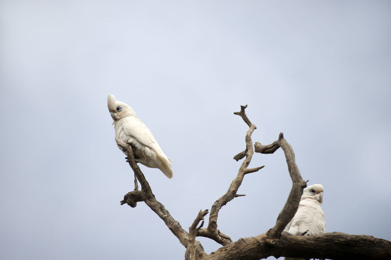 Low angle view of sulphur crested cockatoos perching on tree against clear sky
