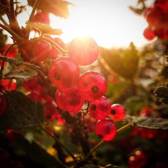 Sun Sunset Currant Redcurrant Nature Nature_collection Natural Beauty Nature Photography Sammer Holiday Sammer Colours Color Sammertime Life Capture The Moment Hello World Happiness Momentlife Moments Holiday POV