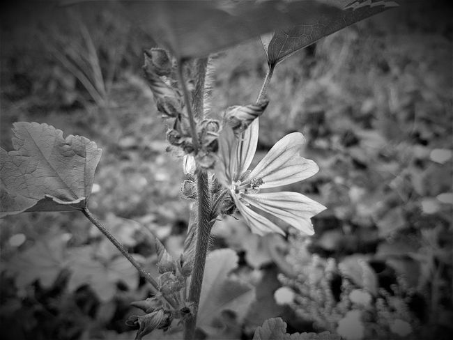 Beautiful Flower in 2017 2017 2017 Year 2017 Photo Black & White Black & White Photography England, UK Great Britain Maidstone Maidstone, Kent, UK United Kingdom Black & White Collection Black And White Black And White Collection  Black And White Photography Black&white Black&white Photography Blackandwhite Blackandwhite Photography Blackandwhiteonly Blackandwhitephoto Blackandwhitephotography Flowers Outdoor Outdoors Uk England