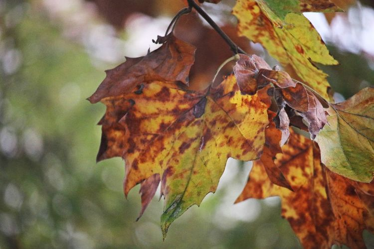 Autumn Autumn colors Autumn Leaves Focus On Foreground Change Plant Part Leaves Branch Tree Vulnerability  Autumn Collection Close-up Nature Plant Beauty In Nature Nature Photography Nature_collection Beautiful Nature Bokeh EyeEm Nature Lover EyeEm Gallery