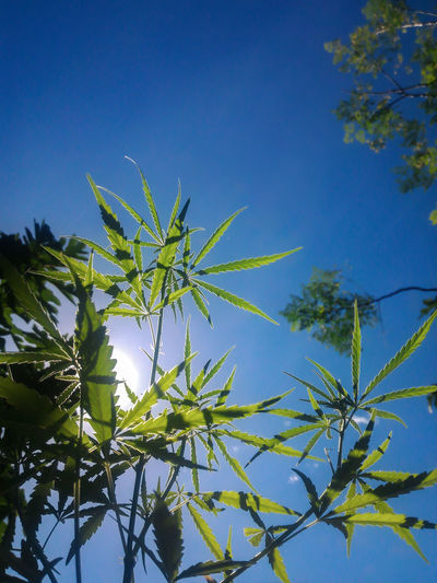 Low Angle View Of Cannabis Plants Against Clear Blue Sky
