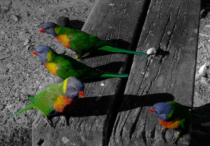 Three little Birds plus one outsider Color Key Storytelling Outsiders  Wildlife & Nature Australia Wildlife Photography Wildlife Colour Key Australian Wildlife Colors Colours Animal_collection Animal Photography Animalphotography Colorsplash Birds_collection ArtWork EyeEm Birds Artistic Eyeem Colorkey Colorkey Bird Photography Coloursplash Birds Of EyeEm