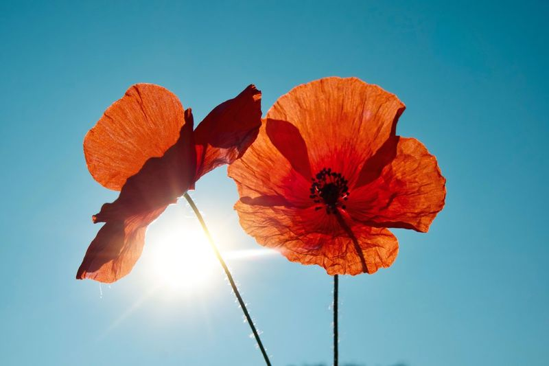 Poppy Poppy Flower Flowering Plant Flower Plant Beauty In Nature Blue Inflorescence Flower Head No People Fragility Freshness Vulnerability  Close-up Day Low Angle View Nature Orange Color Sunlight Petal Sky Growth