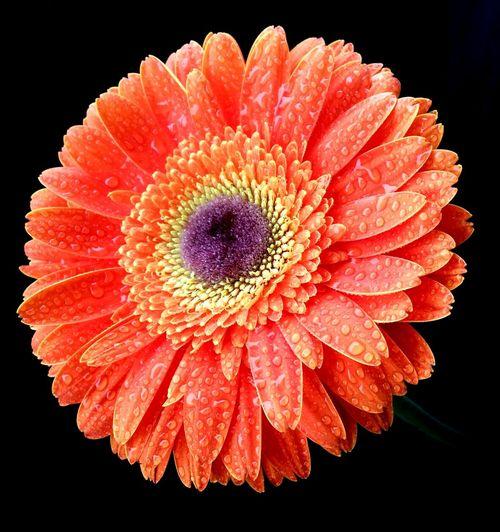 Orange Color Orange Gerbera Close-up Flower Head Flower Petal Freshness Beauty In Nature Gerbera Daisy Black Background