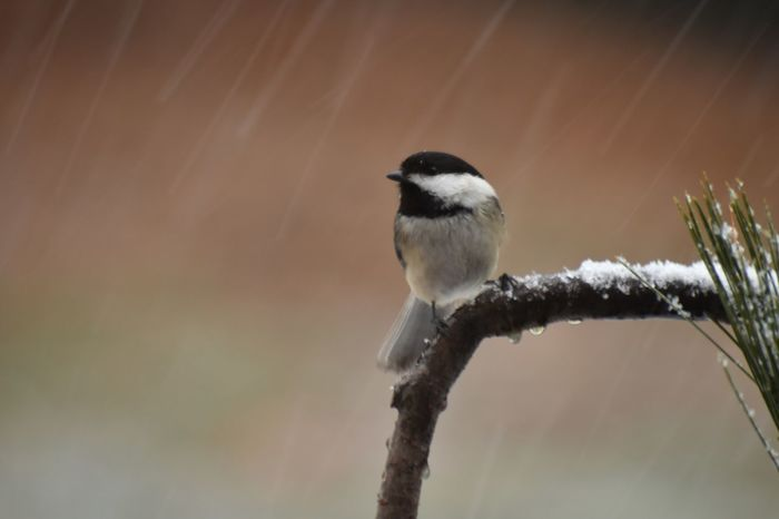 Chickadee in snow Snow Bird Photography Chickadee EyeEm Selects One Animal Animals In The Wild Animal Themes Animal Wildlife Perching Bird Beauty In Nature Outdoors Close-up No People Nature Day Focus On Foreground