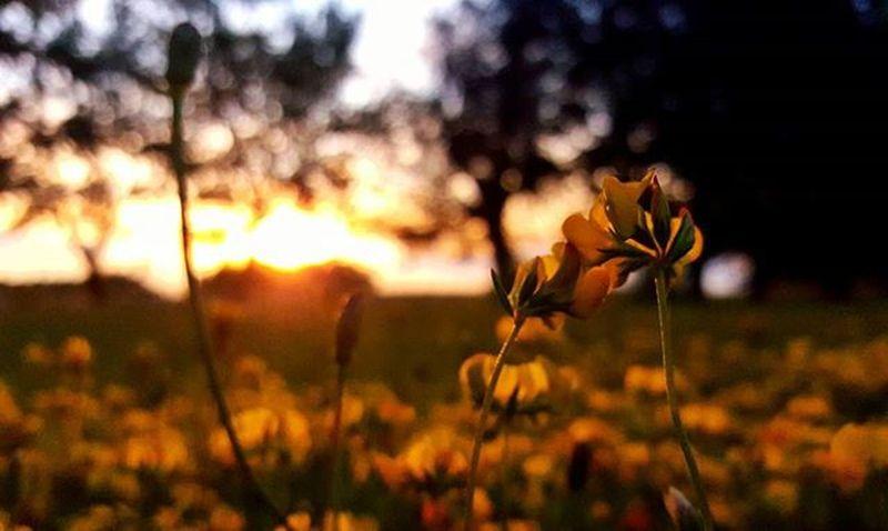 Atardecer en la maravillosa ciudad de tres arroyos Sundown Flower Yellowflowers Silvestre Wildnature Sunset Sunsetporn Igcapturesclub Igersargentina IGDaily Betterthanpizza Justshoot Instamoment Ignature Picoftheday Bestsunset Worldsunsetchallenge Countryside Campo TresArroyos Summer Summersunset Verano Ig_captures_nature Argentina_estrella atardecer dusk igbuenosaires world_bestnature respirofotografia