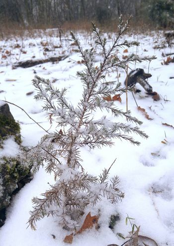 Snow Ice Winter Nature Fwjphotos Cedar Tree Outdoors LG G4