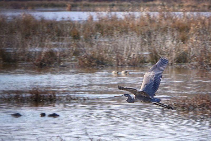 Feeling blue ( Heron ) or flying high?
