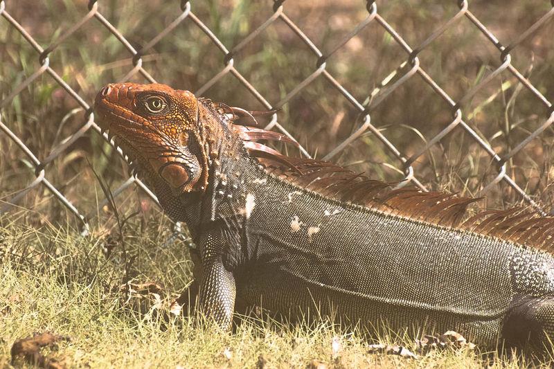 Close-up of iguana bu chainlink fence