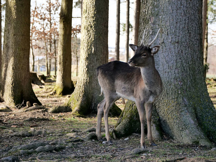 EyeEmNewHere Animal Animal Themes Animal Wildlife Animals In The Wild Day Deer Forest Herbivorous Land Mammal Nature No People One Animal Outdoors Plant Stag Standing Tree Tree Trunk Trunk Vertebrate WoodLand Yearling