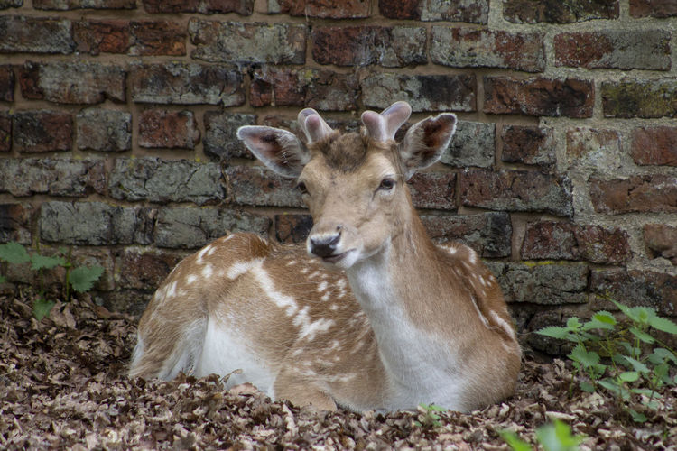 Close-up of deer against wall