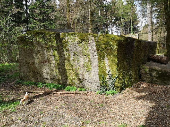 Great Roman stone in the forest. Erratic Erratics Big Rock Glacial Erratic Erratikum Trees Fir Tree Switzerland Lenzburg Moss History Monument Great BIG Roman Stone Roman Stone Forest Dog Canine Jack-Russell-Terrier No People Tree Sunlight Shadow Grass Woods WoodLand Historic