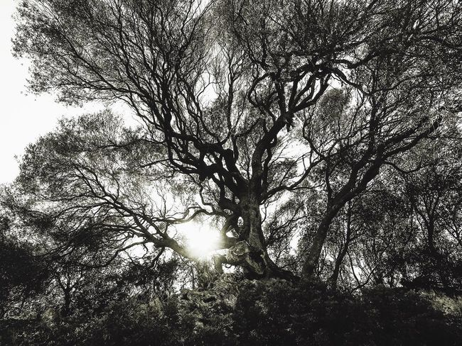 Tree of life II Magical Trees Beauty In Nature Magicoflight Old Tree Olive Tree Shadow And Light Theskyaboveme Olivastro Tree And Sky Nature Trees Tree Caresi Santa Teresa Di Gallura Sardegna Gowiththeflow Mystical Energetic Protection Italy Plants Selective Focus