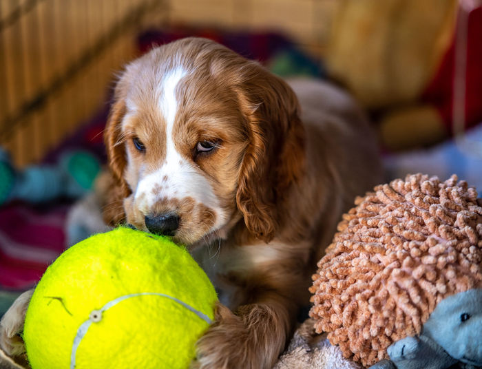 Close-Up Of Cute Puppy With Toys Lying On Bed