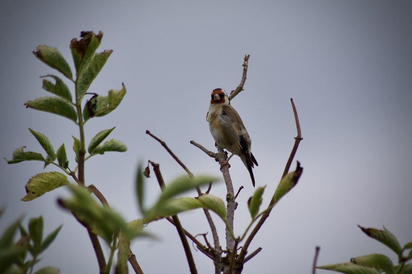 Animal Animal Themes Animal Wildlife Animals In The Wild Bird Close-up Day Focus On Foreground Goldfinch Growth Leaf Mammal Nature No People One Animal Outdoors Perching Plant Plant Part Tree Vertebrate