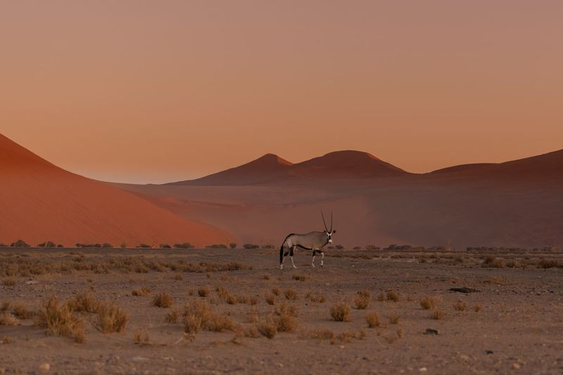 Oryx standing on scenic desert against clear sky