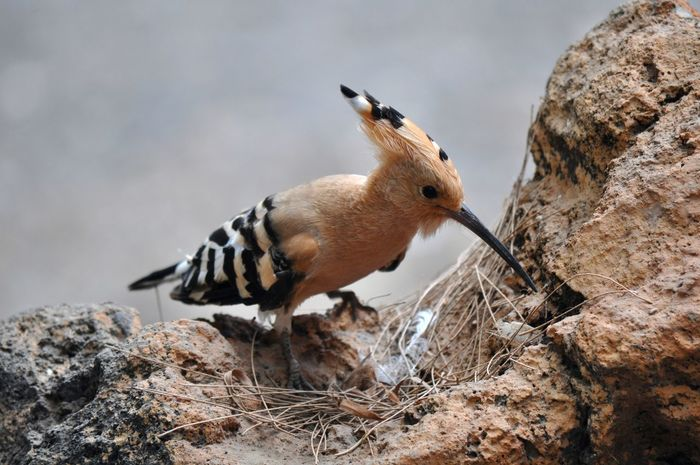 Hoopoe Beak Birds Feathers Hoopoe Long Beak