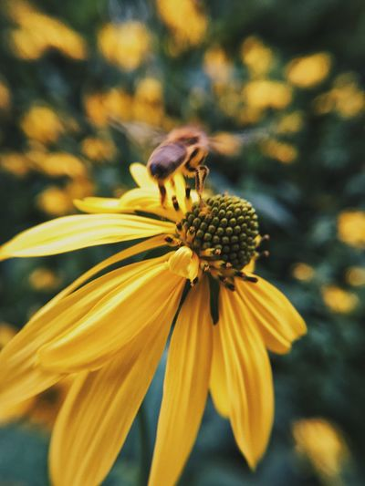 Paint The Town Yellow Yellow Flower Yellow Bokeh Bug Flower Head Nature Floral The Week On EyeEm Bee
