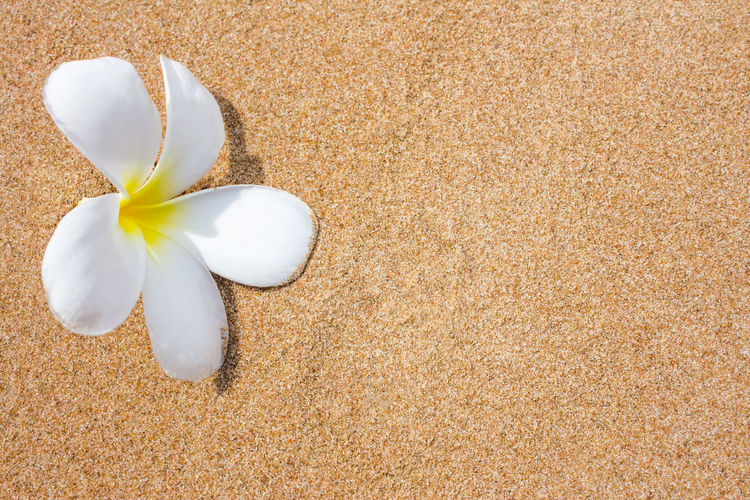 High angle view of white rose on beach