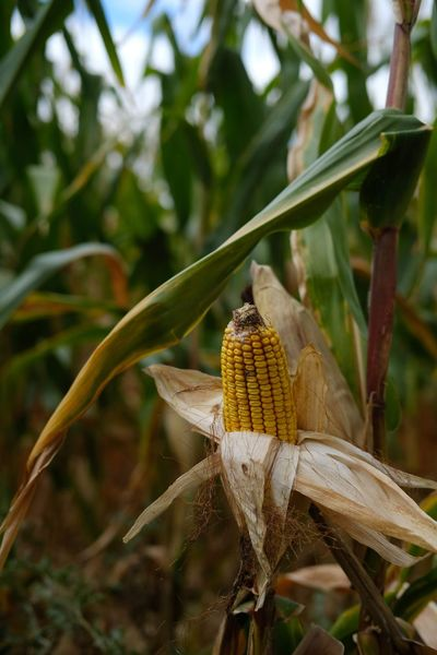 Agriculture Autumn Fruit EyeEm Selects Cornfield Corn Field Bio Food Bio Close-up Agricultural Field Cultivated Land