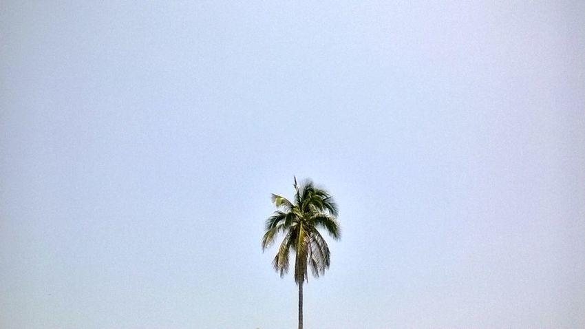 La palmera Palm Tree Green Color Coconut Palm Tree Beauty In Nature Solitude