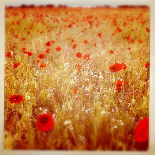 Poppy field Summer ☀ Relaxing Wildflowers Countyside Summertime Taking Photos Hipstamatic Outdoors