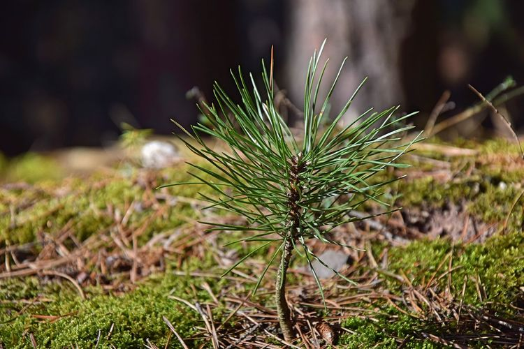 Close-up Green Color Growth Nature Pine Tree Plant Sunlight Tree EyeEmNewHere