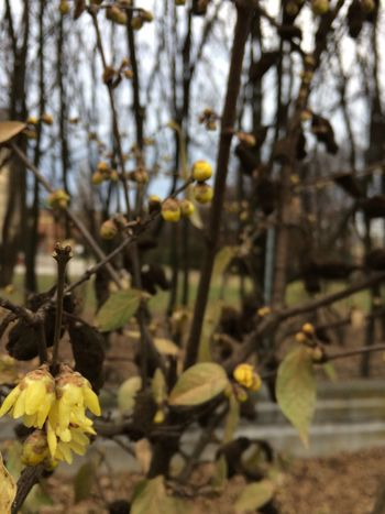 Yellow Growth Close-up Nature Focus On Foreground Plant Outdoors No People Day Beauty In Nature Tree Fragility Freshness Pussy Willow