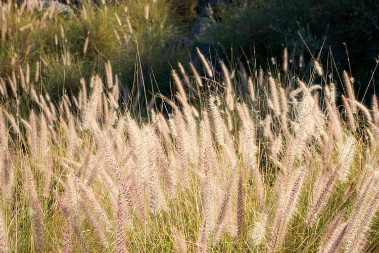Beauty In Nature Close-up Day Field Grass Growth Marram Grass Marsh Nature No People Outdoors Plant Timothy Grass Tranquility Water