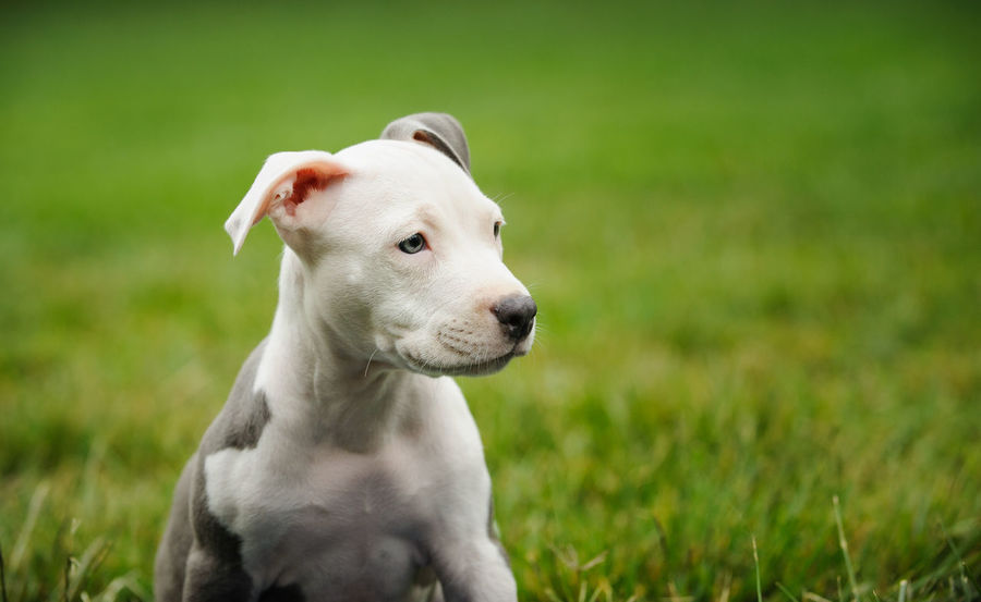 American Pit Bull Terrier dog American Pit Bull Terrier Dogs Dogs Of EyeEm Pit Bull Animal Animal Themes Apbt Blue Nose Pitbull Close-up Day Dog Domestic Animals Grass No People One Animal Pet Pets Pitbull