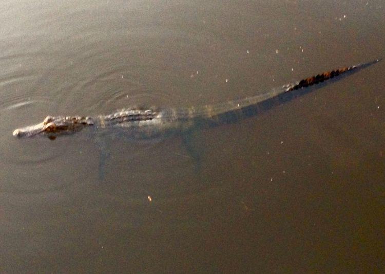 Alligator Gazing Maximum Closeness
