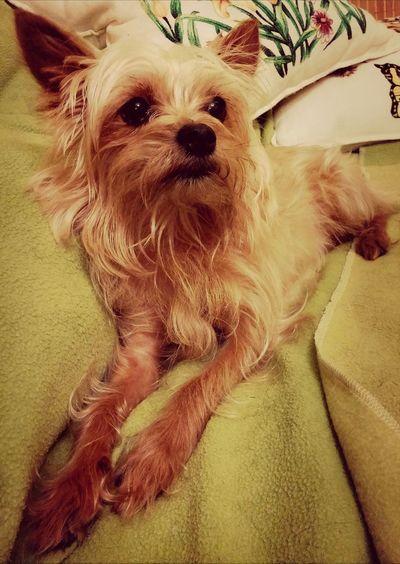 Dog MyLove❤ Fido Yorkshire Terrier