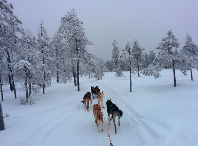 Snow Winter Cold Temperature Animal Themes Sled Dog Mammal Dog Weather Domestic Animals Nature Working Animal Covering Tree Transportation Pets Beauty In Nature Scenics Outdoors Day No People Huskies Rovaniemi Snow Sports The Great Outdoors - 2017 EyeEm Awards Sold On Getty Images Shades Of Winter An Eye For Travel Summer Exploratorium The Great Outdoors - 2018 EyeEm Awards