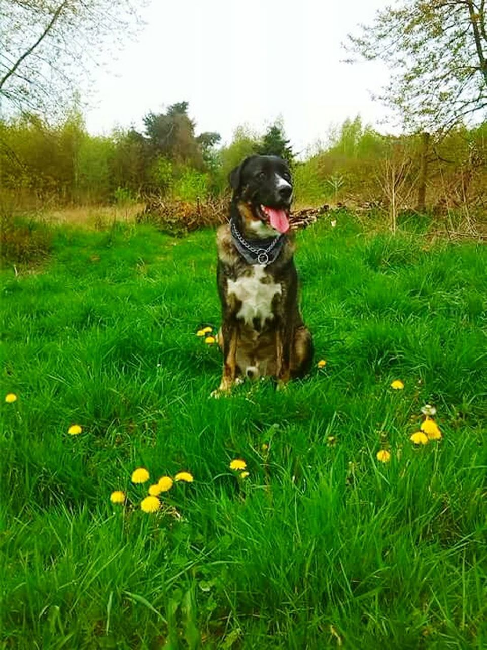 grass, dog, pets, domestic animals, one animal, animal themes, mammal, green color, growth, nature, outdoors, day, no people, tree, field, flower, sitting, beauty in nature, sky