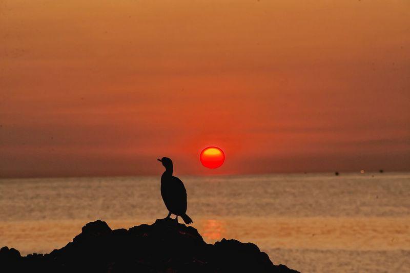 Silhouette bird on beach during sunset