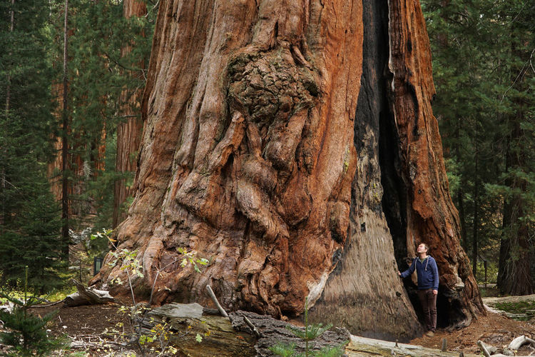 Man standing by huge tree in forest