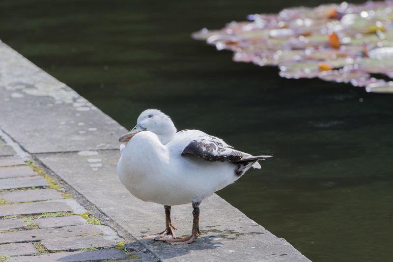 The mallard in the Hamburg city park Anas Platyrhynchos Jung's Birds Mallard Animal Bird's Kind Duck Duck's Bird Erpel Fledgling Goose's Birds Mallard Duck Swimming Ducks Water Bird Waters