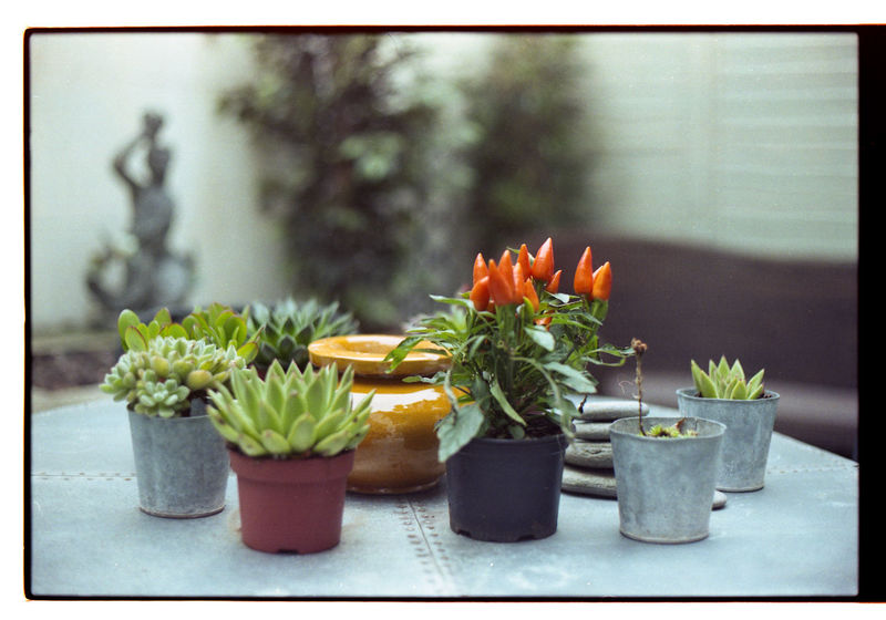 Just started scanning my own negatives! Here's the first of the film using my 1965 Nikkormat! Many more coming soon 50mm EyeEm Best Shots EyeEm Nature Lover Film Filmisnotdead Flower Collection Flowers Garden Nikkormat FS (1965) Showcase March Tadaa Community Urban Gardening