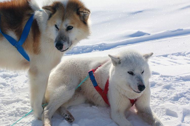 Close-Up Of Huskies On Snow Field