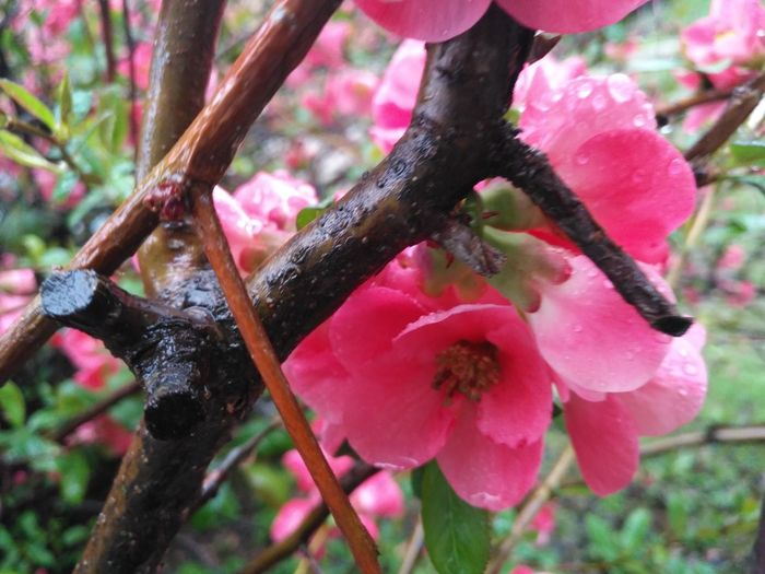 Nature Growth Pink Color Plant Tree Freshness Outdoors No People Close-up Beauty In Nature Fragility Day Flower Petals🌸 I Love Spring <3 Popular Photos Rainy Day Tranquil Scene Nofilter Rainy Days Tree Flowers Nature Garden Flowers Millennial Pink
